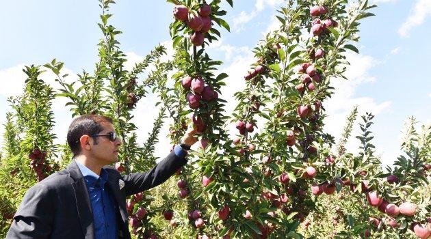 Ahlat'ta elma yetiştiriciliği