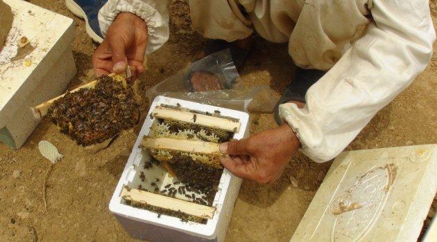 Bitlis'te üretilen ana arılar bölge illerine satılıyor