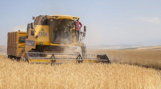 Bitlis'te buğday hasadı devam ediyor